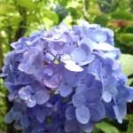 鎌倉の紫陽花で成就院は?長谷エリアから極楽寺おすすめは?