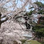 弘前城桜祭りは石垣工事中も見れる?ゴールデンウィーク開花状況は?
