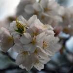 桜を4月中旬に東京で見るならどこで?遅咲きの品種の特徴は?