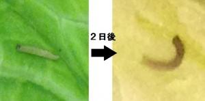 yotoumushi