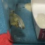 蝶が羽化失敗したらどうする?飼育方法成虫は青虫と違うの?寿命は?