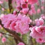 桜と梅と桃の違いは?つぼみ状態で簡単に見分ける方法とは?